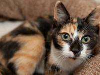 Calico - Beeatrice - Small - Baby - Female - Cat