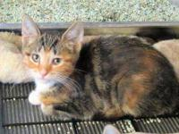 Calico - Bella (calico) - Medium - Baby - Female - Cat