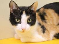 Calico - Bella - Medium - Young - Female - Cat Bella is