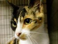 Calico - Bella Muffin - Medium - Adult - Female - Cat