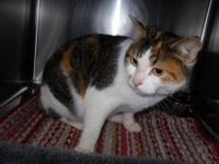 Calico - Blue - Extra Large - Adult - Female - Cat Blue