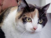Calico - Bridgette - Large - Adult - Female - Cat