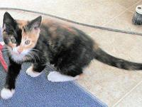 Calico - Bubble - Small - Young - Female - Cat Please