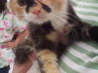 Calico - Cali - Medium - Baby - Female - Cat You can