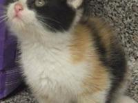 Calico - Callie - Medium - Baby - Female - Cat Precious
