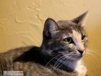 Calico - Candi - Large - Young - Female - Cat All cats