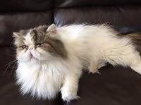 I have 4 cats for sell.3 chinchillas Persian cats and