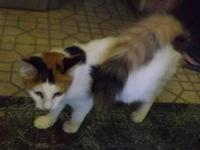 Calico - Char - Small - Young - Female - Cat ***If