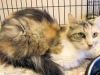 Calico - Chelsea - Large - Adult - Female - Cat Chelsea