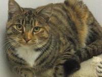 Calico - Chloe - Large - Adult - Female - Cat Chloe is