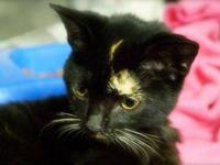 Calico - Chloe - Medium - Baby - Female - Cat