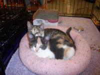 Calico - Chloe - Small - Adult - Female - Cat Are you