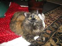Calico - Cinnamon - Medium - Young - Female - Cat Sweet