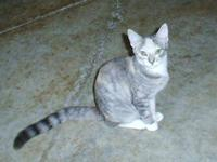 Calico - Cora - Medium - Young - Female - Cat Cora is a