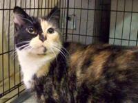 Calico - Cutie - Medium - Adult - Female - Cat Cutie is