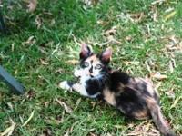 Calico - Dorothy - Medium - Baby - Female - Cat Dorothy