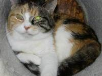 Calico - Dort - Large - Adult - Female - Cat Dort is