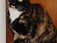 Calico - Dutchess - Medium - Young - Female - Cat