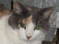 Calico - Greta - Medium - Senior - Female - Cat Hello!