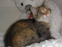 Calico - Gretchen (fc=gs) - Medium - Young - Female -