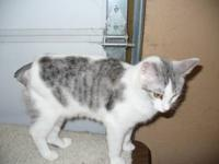 Calico - Heather - Medium - Young - Female - Cat