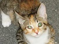 Calico - High Ball - Small - Baby - Female - Cat