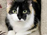 Calico - Irene - Medium - Adult - Female - Cat Irene is