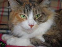 Calico - Kallie - Medium - Adult - Female - Cat Kallie