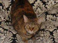 Calico - Katie - Medium - Adult - Female - Cat Katie is