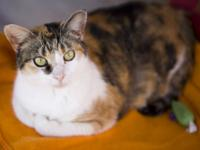 Calico - Katie - Medium - Baby - Female - Cat sweet and