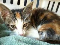 Calico - Kayla Kitty - Small - Baby - Female - Cat This
