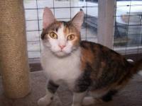 Calico - Khali - Medium - Adult - Female - Cat
