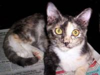 Calico - Kitten - Medium - Young - Male - Cat