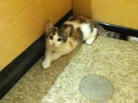 Calico - Laura - Medium - Baby - Female - Cat I am a