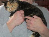 Calico - Leynia - Small - Baby - Female - Cat Leynia is