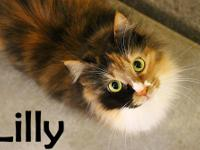 Calico - Lilly - Large - Adult - Female - Cat Lilly is