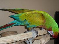 6 yr old calico macaw. Beautiful guy, enjoys cuddling