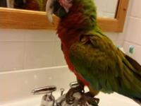 Very sweet 2yr old macaw to good home only. He's well