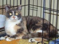 Calico - Maggie - Medium - Adult - Female - Cat
