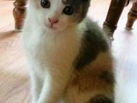 Calico female manx kitten is prepared for her new