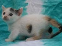 A darling calico Munchkin offered for sale to an