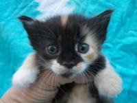 Two darling calico Munchkins offered for sale to