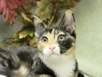 Calico - Natalie - Medium - Adult - Female - Cat This