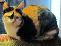 Calico - Nellie (courtesy Post) - Small - Adult -