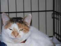 Calico - Nicole - Medium - Adult - Female - Cat Nicole