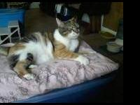 Calico - Ophelia - Large - Adult - Female - Cat My name