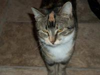 Calico - Patches - Large - Adult - Female - Cat