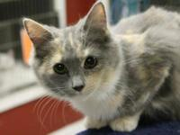 Calico - Patches - Medium - Young - Female - Cat