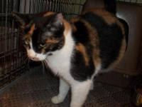 Calico - Patches - Small - Adult - Female - Cat Patches