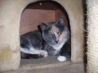 Calico - Patsy - Medium - Adult - Female - Cat Patsy is